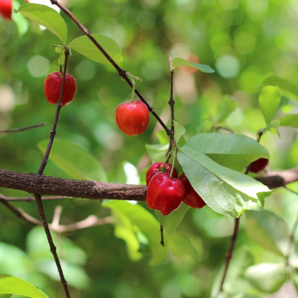 Acerola to znakomite źródło witaminy C. Fot. pixabay.com