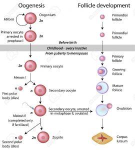 16032401-Oogenesis-Stock-Vector-mitosis-meiosis