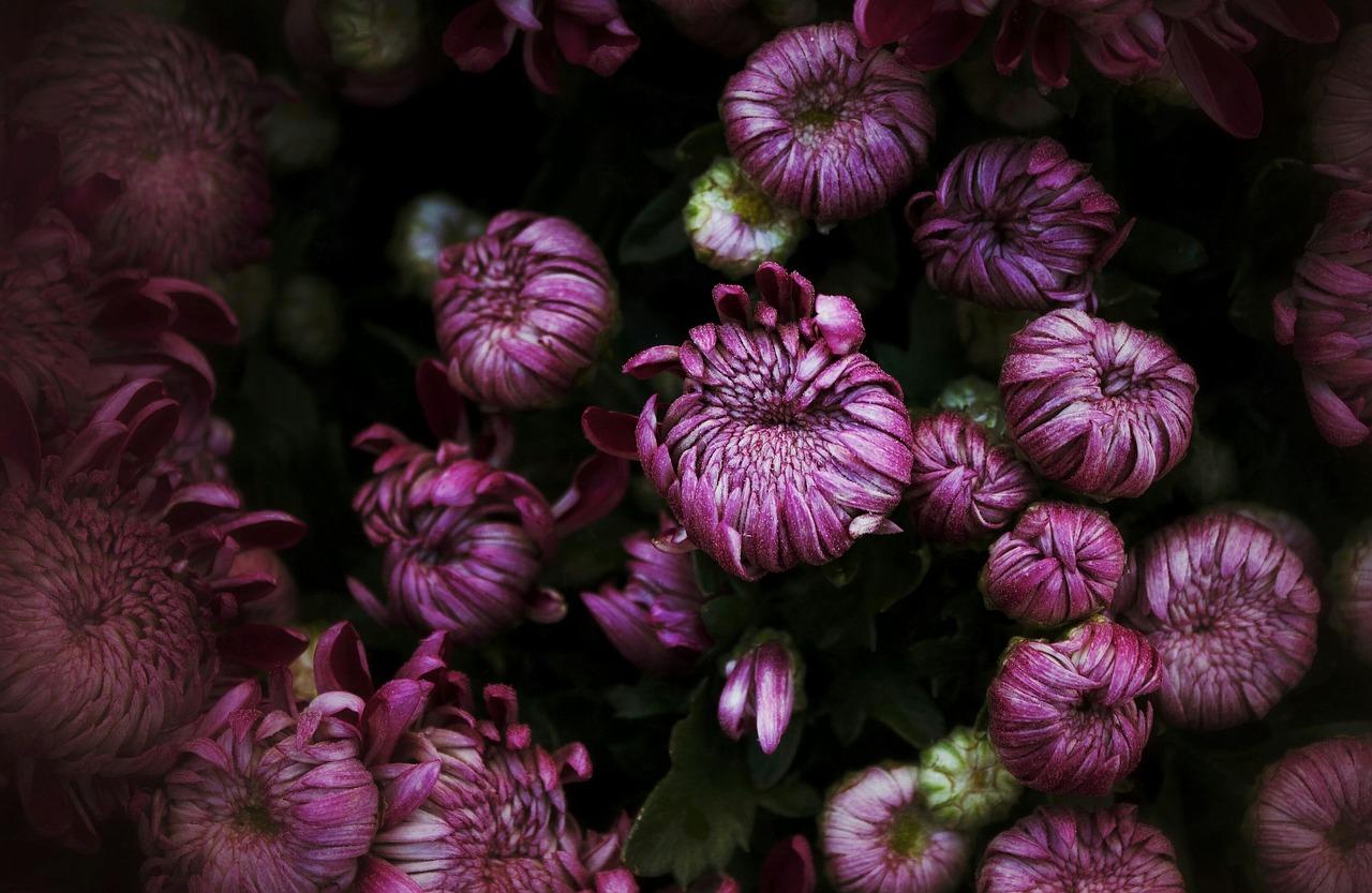 chrysanthemums-1802933_1280
