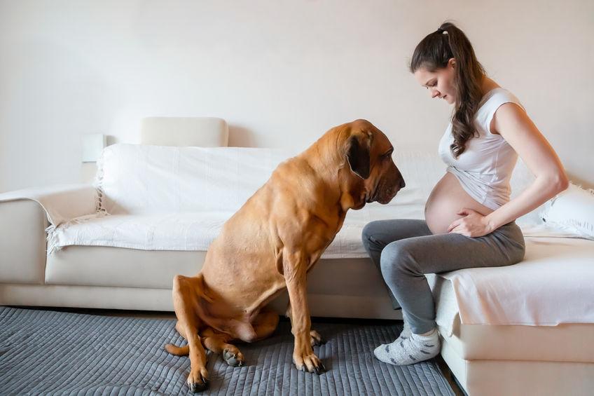 Pies wyczuwa ciążę